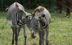 2 зебры