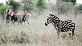 Зебра с птичками на спине фото