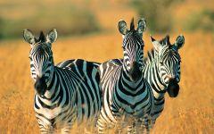 Наблюдающие зебры