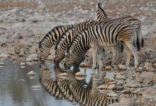 Пять зебр на водопое