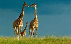 Семейка жирафов фото