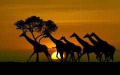 Стадо жирафов на закате