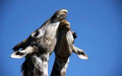 Две жирафьих головы