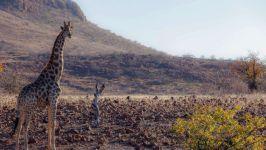 Жираф в выжженной солнцем саванне