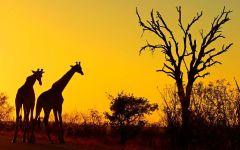 Два жирафа на закате фото