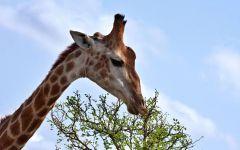 Жираф объедает верхушку дерева