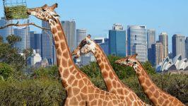 Жирафы на фоне небоскрёбов