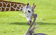 Жираф облизывает страуса