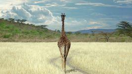 Жираф сзади