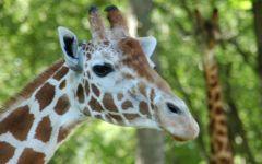 Голова жирафа сбоку
