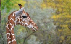Гибкая шея жирафа