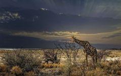 Жираф на фоне грозового неба фото