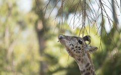 Молодой жираф объедает листья с веток