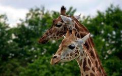 Два жирафа на фоне зеленых деревьев