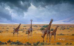 Четыре жирафа фото