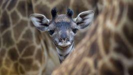 Детеныш жирафа среди взрослых