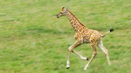 Скачущий жирафчик