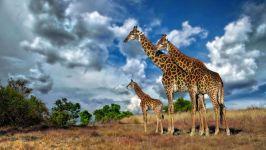 Африканська жирафа