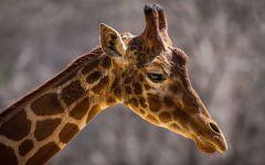 Африканский жираф (Giraffa camelopardalis)