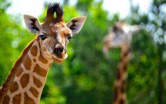 Жираф смотрит на тебя