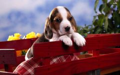Артуазская гончая щенок