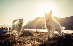 Гренландские собаки