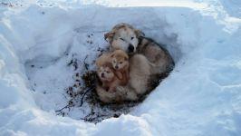 Сука гренландсхунда со щенками