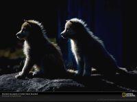 Щенки гренландской собаки