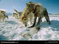 Упряжка гренландских собак