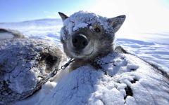 Гренландсхунд под снегом