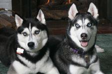 Аляскинские кли каи
