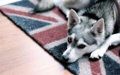 Кли кай лежит на коврике