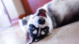 Игривый щенок аляскинского кли кай