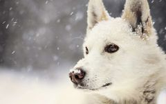 Американо-канадская белая овчарка фото