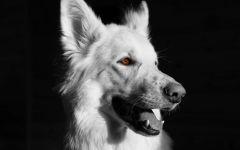 Белая швейцарская овчарка черно-белое фото