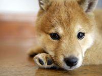 Грустный щенок шиба-ину