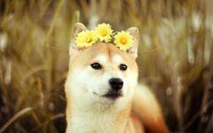 Шиба ину с венком из цветов