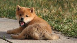 Зевающий щенок шиба ину