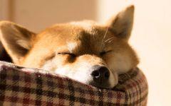 Спящий шиба-ину