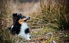 Собака - метис шелти