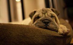 Спящий шарпей