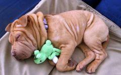 Спящий щенок шар-пея с игрушкой