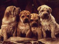 Четыре щенка шар-пея