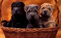 Черный, серый и палевый щенки шар-пея