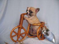 Чихуахуа - порода маленьких собак