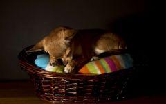 Чихуахуа - самые маленькие собаки