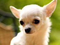 Чихуахуа - самая маленькая собака в мире