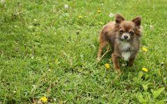 Собака чихуахуа обои