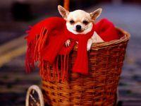 Маленькая собачка - чихуахуа