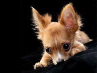 Маленький щенок чихуа